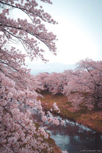 Koriyama_Sakura_2